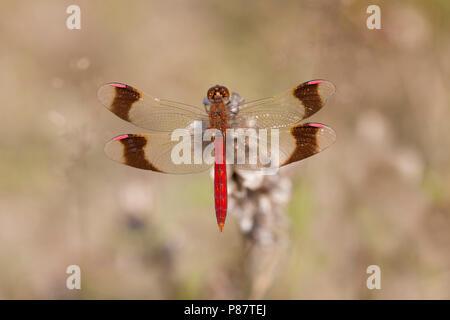 Imago Bandheidelibel man; Adult Banded Darter - Stock Photo