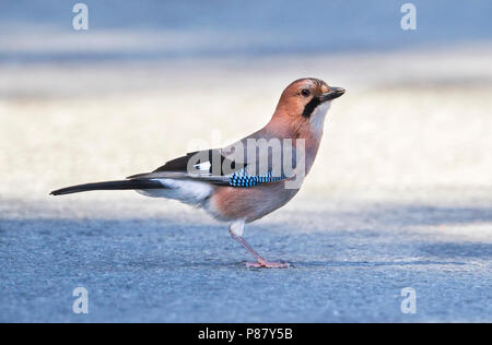 Eurasian Jay , Garrulus glandarius ssp. glaszneri, Cyprus, adult - Stock Photo