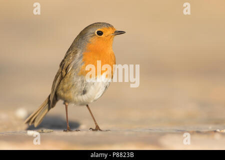 European Robin - Rotkehlchen - Erithacus rubecula ssp. rubecula, Spain - Stock Photo