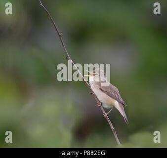 Marsh Warbler (Acrocephalus palustris) singing male on Shetland Islands in June. - Stock Photo