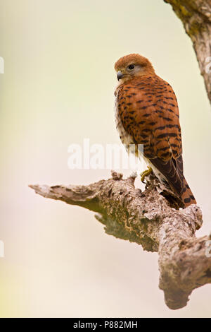Mauritius Kestrel (Falco punctatus) an endemic species of raptor from Mauritius. An endangered species with as few of 400 mature birds alive in the wi - Stock Photo