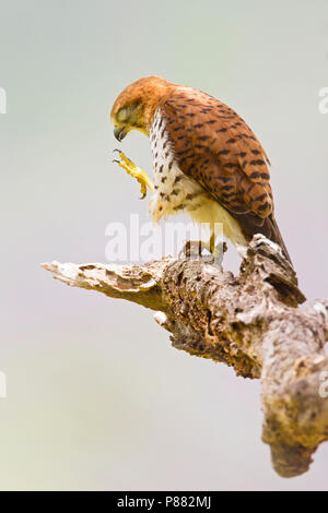Mauritius Kestrel (Falco punctatus), an endemic raptor to the forests of Mauritius, where it is restricted to the southwestern plateau's forests, clif - Stock Photo