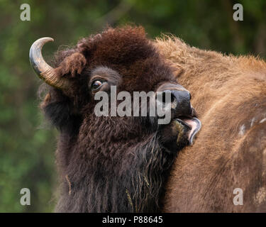 An American bison grooming. - Stock Photo