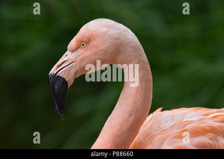A portrait of an American flamingo. - Stock Photo