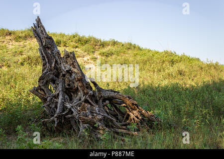 The weathered remains of a Hackberry tree grace the edge of a blowout in the Nebraska Sandhills.  The Sandhills are a feature unique to the area. - Stock Photo