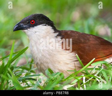 Senegalese Spoorkoekoek; Senegal Coucal; Centropus senegalensis - Stock Photo