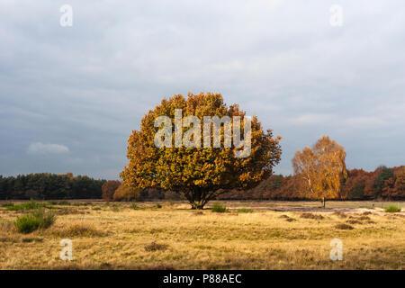 Solitaire bomen in Het Gooi in het najaar; Solitary trees at Het Gooi in autumn - Stock Photo