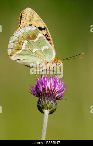 Kardinaalsmantel / Cardinal (Argynnis pandora) - Stock Photo