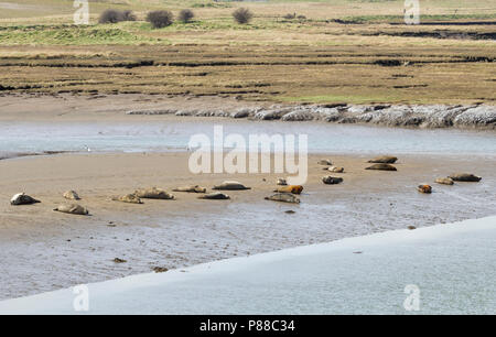 Harbour Seals and Grey Seals basking at low tide at Greatham Creek near Hartlepool, England, UK - Stock Photo