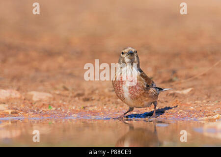 Linnet, Kneu, Carduelis cannabina ssp. mediterranea, Mallorca, adult male - Stock Photo