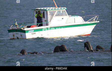 Griend, Long-finned Pilot Whale, Globicephala melas - Stock Photo