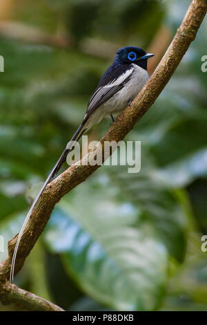 Male Malagasy Paradise Flycatcher (Terpsiphone mutata) - Stock Photo