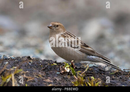 Plain Mountain Finch; Leucosticte nemoricola altaica - Stock Photo