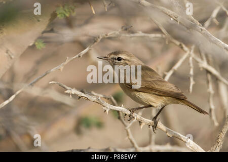 Plain-leaf Warbler - Eichenlaubsänger - Phylloscopus neglectus, Oman, adult - Stock Photo