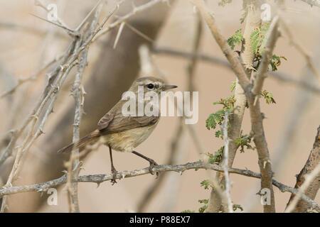 Plain-leaf Warbler - Eichenlaubsänger - Phylloscopus neglectus, Oman, adult - Stock Photo