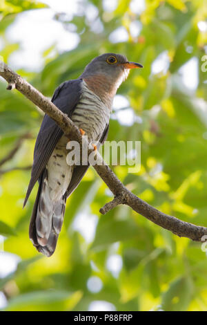 Red-chested Cuckoo (Cuculus solitarius) perched in canopy. - Stock Photo