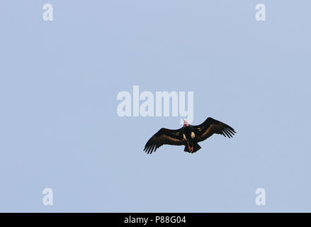 Red-headed Vulture (Sarcogyps calvus) in flight over Asia. - Stock Photo