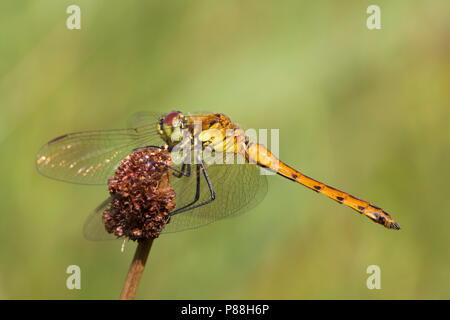 Vers mannetje Kempense heidelibel, Immature male Sympetrum depressiusculum - Stock Photo