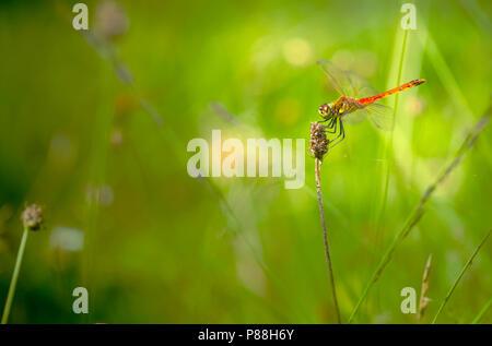 Kempense heidelibel, Spotted Darter, Sympetrum depressiusculum - Stock Photo