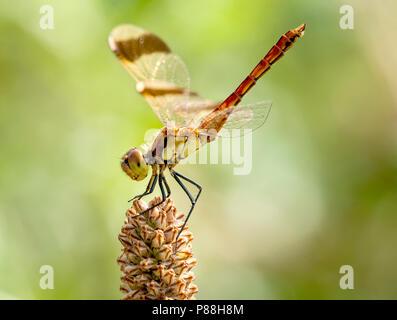 Mannetje Bandheidelibel, Male Sympetrum pedemontanum - Stock Photo