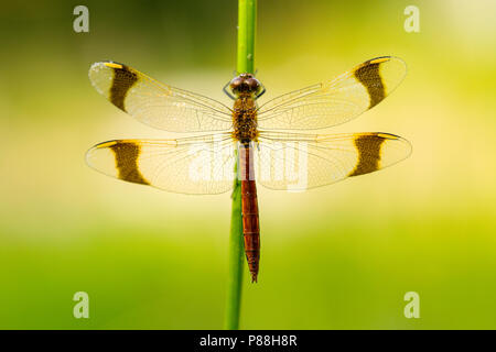 Bandheidelibel, Banded Darter - Stock Photo