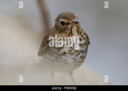 Swainson's thrush (Catharus ustulatus) - Stock Photo