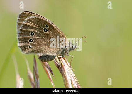 Koevinkje / Ringlet (Aphantopus hyperantus) - Stock Photo