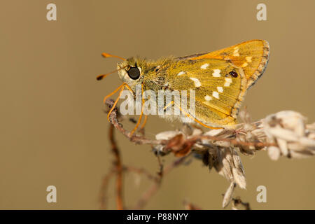 Kommavlinder / Silver-spotted Skipper (Hesperia comma) - Stock Photo