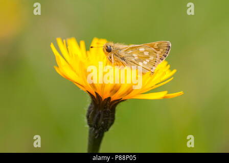 Kommavlinder, Silver-spotted Skipper, Hesperia comma - Stock Photo