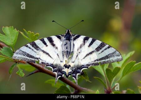 Koningspage / Scarce Swallowtail (Iphiclides podalirius)