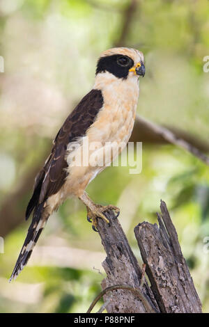 Laughing Falcon, Herpetotheres cachinnans) is a specialist snake-eater, found through Central and South America. - Stock Photo