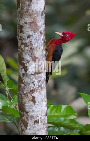 Red-necked Woodpecker (Campephilus rubricollis) perched against a tree. - Stock Photo