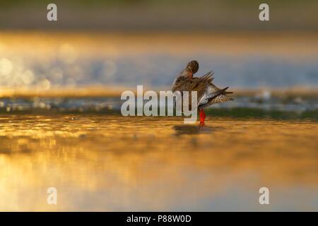 Tureluur, Common Redshank, Tringa totanus - Stock Photo