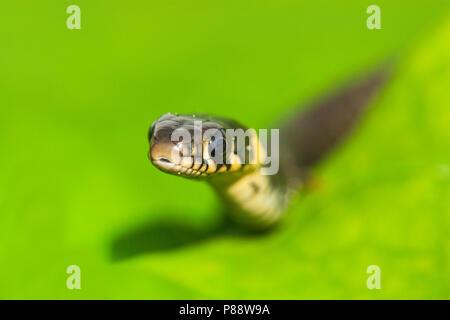Ringslang, European Grass Snak, Natrix natrix - Stock Photo