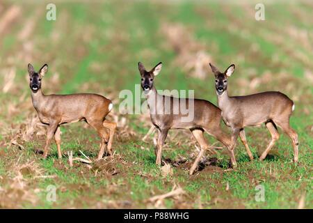 Groepje van drie Ree op akker;Group of three Roe Deer standing on arable field - Stock Photo