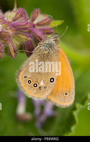 Chestnut Heath, Coenonympha glycerion - Stock Photo