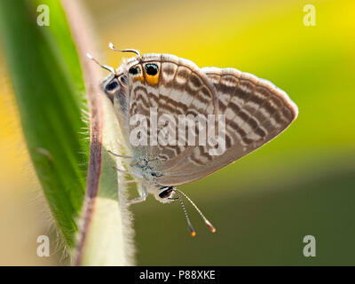 Tijgerblauwtje / Long-tailed Blue (Lampides boeticus) - Stock Photo