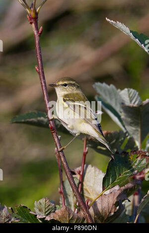 Yellow-browed Warbler (Phylloscopus inornatus) during autumn migration - Stock Photo