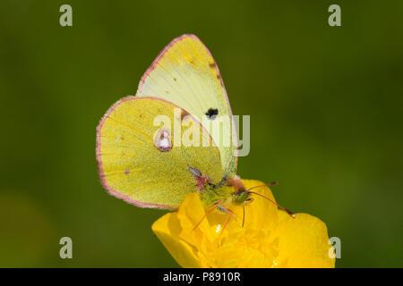 Zuidelijke luzernevlinder, Berger's Clouded Yellow (Colias alfacariensis) - Stock Photo