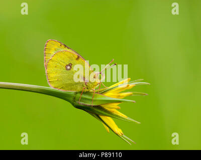 Zuidelijke luzernevlinder / Berger's Clouded Yellow (Colias alfacariensis) - Stock Photo