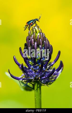 Zwartblauwe rapunzel, Black Rampion - Stock Photo