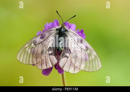 Zwarte apollovlinder / Clouded Apollo (Parnassius mnemosyne) - Stock Photo