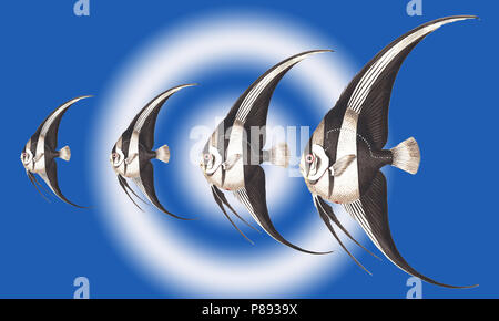 Digitally enhanced image of Pterophyllum scalare, most commonly referred to as angelfish or freshwater angelfish, or sometimes just Scalare. various s - Stock Photo