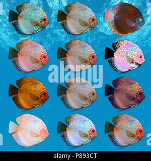Digitally enhanced image of 12 color variations of Symphysodon, (colloquially known as discus) fresh water aquarium fish. - Stock Photo
