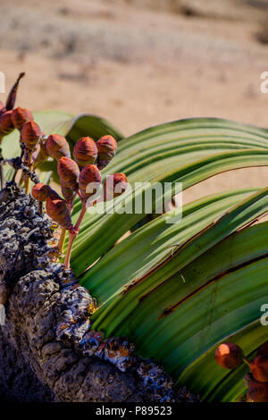 Close up of female cones and large leaves of the Welwitschia Mirabilis plant, native to Namibia and named after the Austrian botanist and doctor Fried - Stock Photo