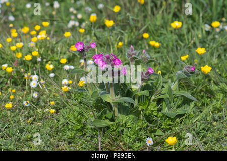 Red campion (Silene dioica), a short-stemmed variety, often found in the windier parts of Shetland - Stock Photo