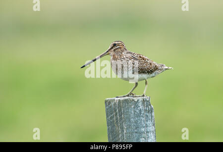 Common snipe (Gallinago gallinago) perched on a fence post - Stock Photo
