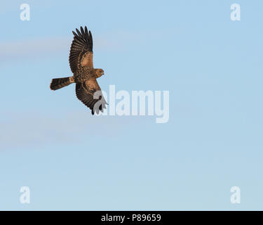 A juvenile Spotted Harrier soars above. - Stock Photo