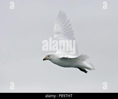 Snowy Sheathbill (Chionis albus) in flight - Stock Photo