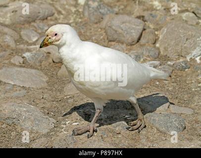 Snowy Sheathbill (Chionis albus) - Stock Photo